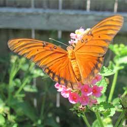 backyard-butterfly-3