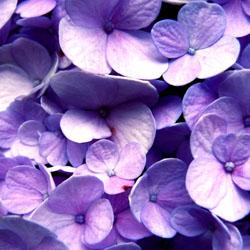 endless-summer-hydrangeas-2