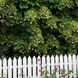 Climbing hydrangea vine.