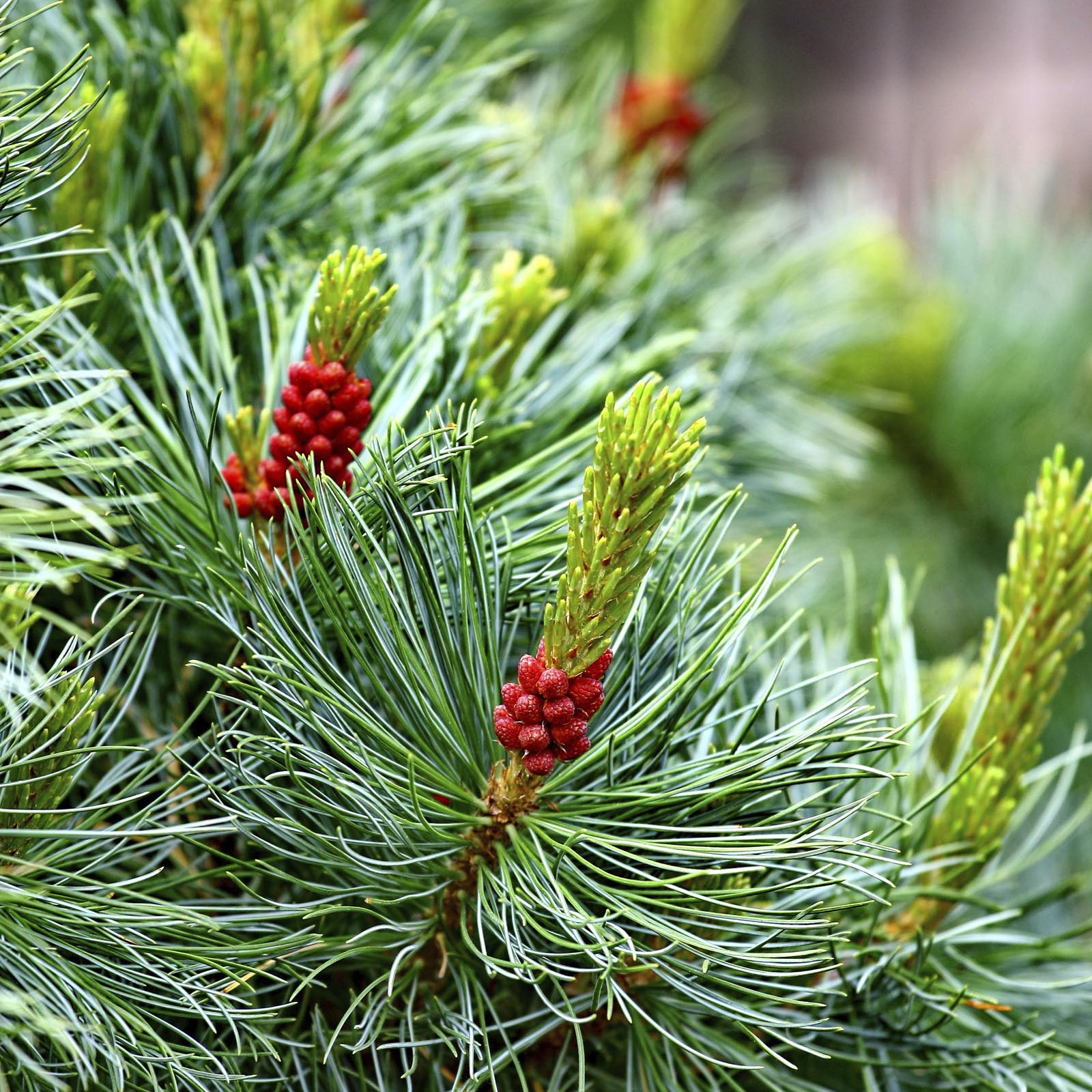 Pine with Cones natural background